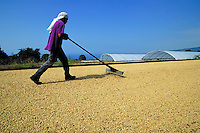 Coffee farm worker rakes green Kona coffee beans drying in sun; Honaunau, Hawaii.