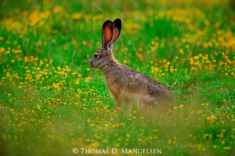 Evolved with long, powerful legs to sprint from native predators such as coyotes, a black-tailed jackrabbit seems content to frolic in a field of summer wildflowers in Northern California.