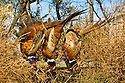 00890-034.20 Ring-necked Pheasant:  Three bagged roosters are displayed along tubbleweed strewn fence.  Hunt, limit, color.  H2L1