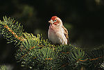 House Finch perched in a conifer in Southwest Arizona.