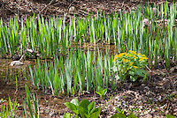 Iris foliage with marsh marigolds Caltha palustris in bloom in spring wetlands woodland garden