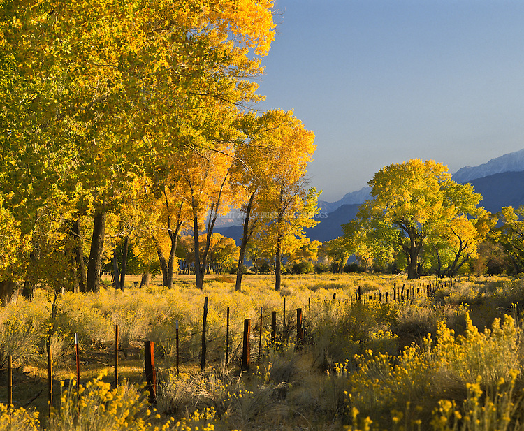 Cottonwood trees in full fall splendor in northern Owens Valley, Inyo County, CA.