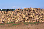 ATBJD1 Pile of sugar beet in Suffolk England
