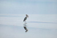 Great Blue Heron with fish. Lower Klamath Fall National Wildlife Refuge. California