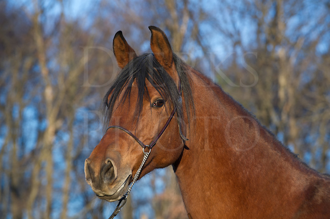 "Beautiful Arabian horse in late evening golden light, head shot of purebred bay mare in winter coat, ""Kourley""."