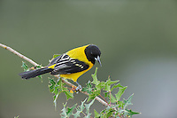 Audubon's Oriole (Icterus graduacauda), adult perched, Dinero, Lake Corpus Christi, South Texas, USA