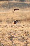 Northern Harrier and Ferruginous Hawk