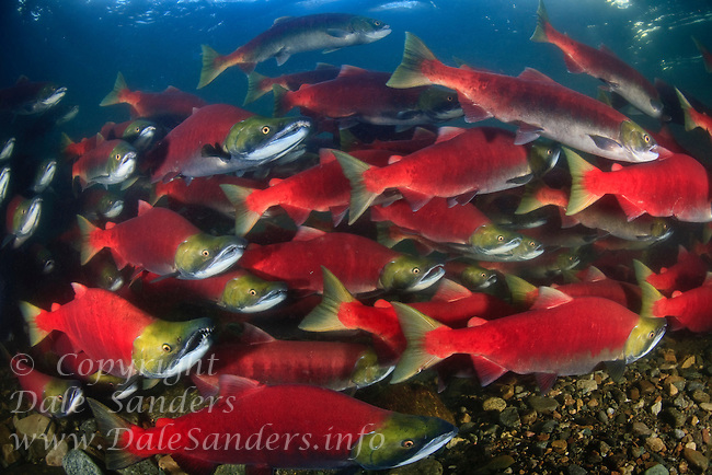 Sockeye Salmon ( Oncorhynchus nerka) swimming up the Adams River in British Columbia, Canada to spawn.