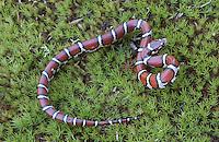 Coastal Plain Milk Snake; Lampropeltis triangulum temporalis; juvenile; NJ, Cumberland County