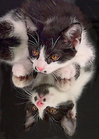 Tuxedo kitten reflected in mirror