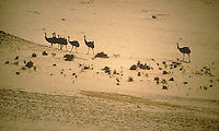 Emus in the desert near Ayers Rock, Central Australia, Northern Territory