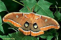 LE41-022b  Polyphemus Moth - adult male, note antennae - Antheraea polyphemus
