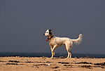 An English setter points on the beach at Cape Cod, MA.