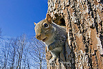 Eastern Gray Squirrel, Sciurus carolinensis, at den tree
