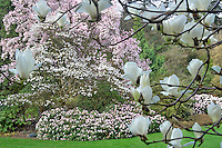Magnolia dawsoniana and rhododendrons in bloom. Bishops Close gardens. Portland. Oregon