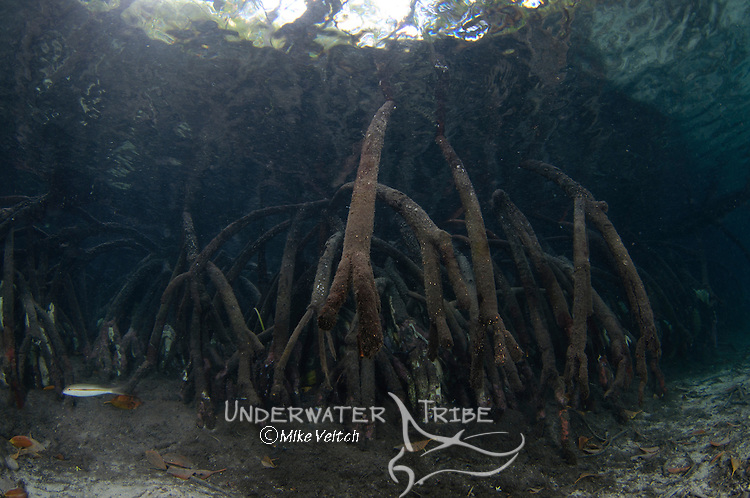 Mangrove tree roots, Blue Water mangroves, Raja Ampat, West Papua, Indonesia, Pacific Ocean