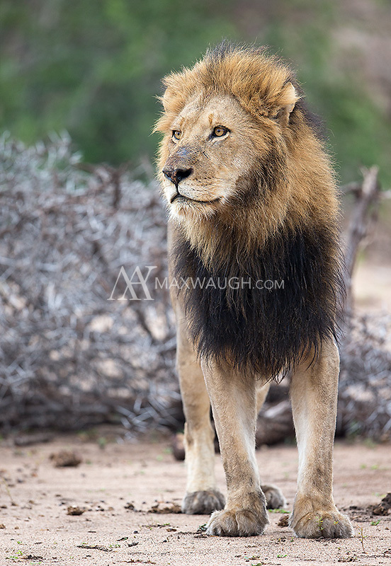 We had a couple of nice encounters with male lions at MalaMala.