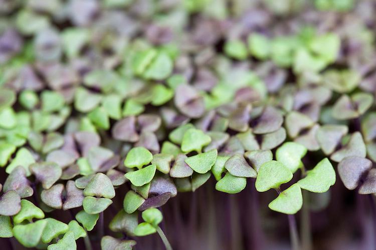 Basil 'Dark Opal' grown in seed trays as a micro-leaf salad veg.