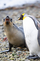 king penguin, Aptenodytes patagonicus, threatening an Antarctic fur seal pup, Arctocephalus gazella, that approaches too close on the beach at Grytviken, South Georgia, South Atlantic Ocean