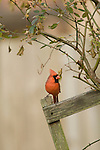 male cardinal in late winter