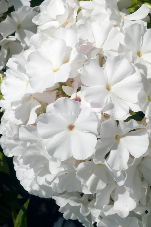 Phlox paniculata Minnie Pearl white flowers