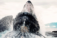 close-up of humpback whales bubble-net feeding, Megaptera novaeangliae, Alaska, USA, Pacific Ocean