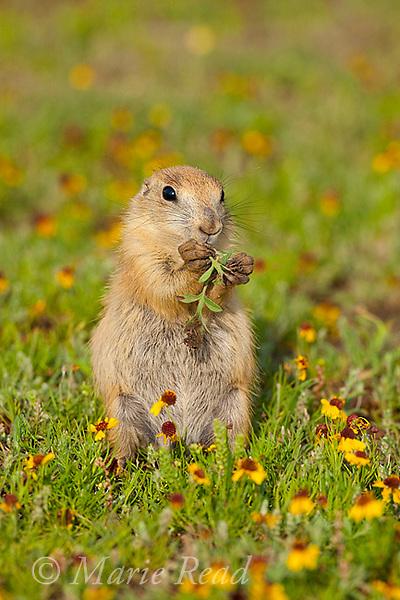 Black-tailed Prairie Dog (Cynomys ludovicianus), young animal feeding on leaves, Wichita Mountains NWR, Oklahoma, USA