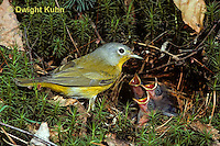 WB02-001z  Nashville Warbler - adult with young in nest - Vermivora ruficapilla