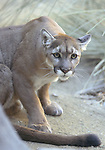 FB-S83R  Mountain Lion, 4x6 postcard