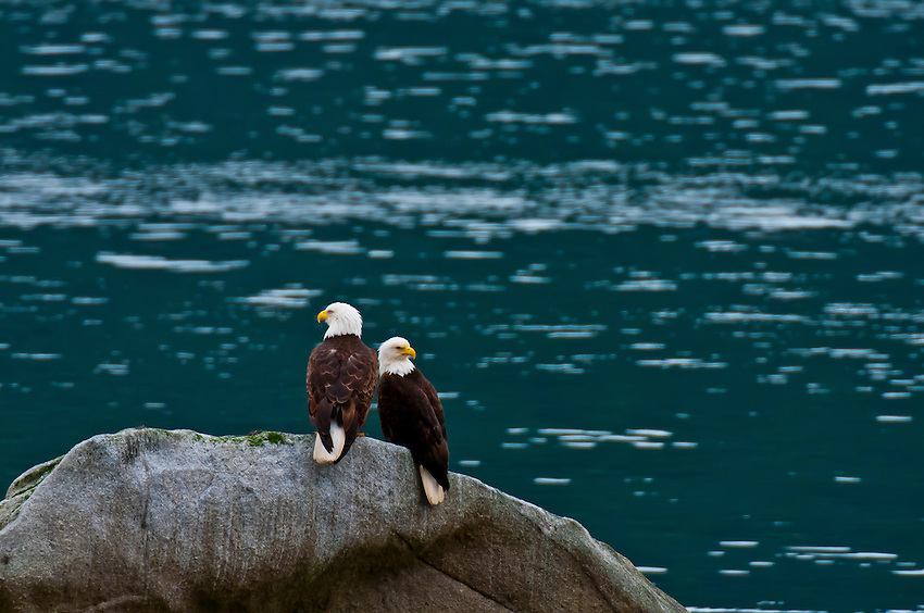 Two bald eagles (Haliaeetus leucocephalus), Haines, southeast Alaska USA