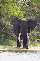 African Elephant, Queen Elizabeth National Park, Uganda, East Africa