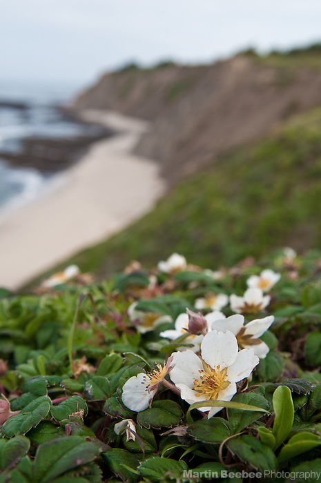Wild beach strawberry (Fragaria chiloensis) growing on a coastal bluff, Pillar Point, Half Moon Bay, California