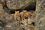 Five Coyote pups outside their den in Yellowstone National Park.