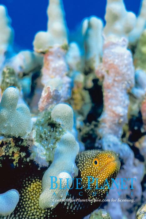 whitemouth moray eel, Gymnothorax meleagris, South Kona Coast of the Big Island, Hawaii Island, Hawaiian Islands, USAA (Pacific Ocean)