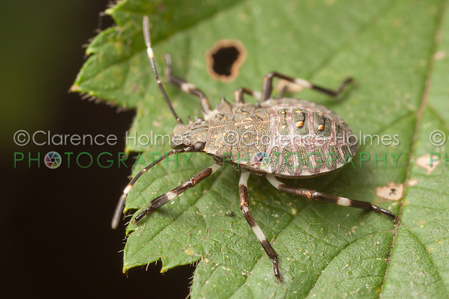 A Brown Marmorated Stink Bug (Halyomorpha halys) nymph perches on a wild raspberry leaf.