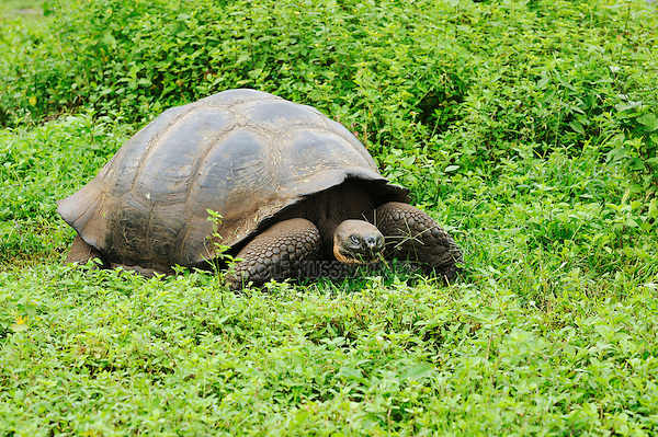 Galapagos Giant Tortoise (Geochelone elephantopus), adult eating, Galapagos Islands, Ecuador, South America