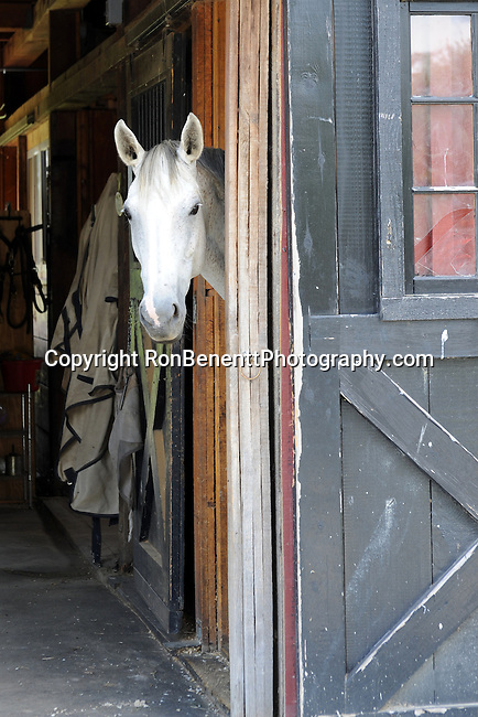 White horse looks out barn door Philomont Virginia; Horse; horse barn; barn door; horse and barn door,
