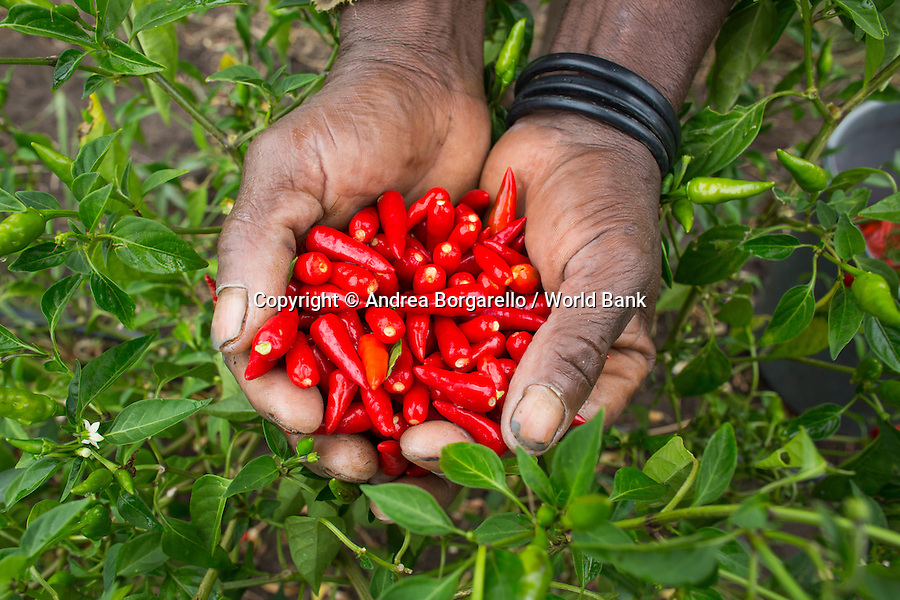 Maputo Elephant Game Reserve, Mozambique.<br /> Piri piri (chilli pepper) farming/production project within a community living in a village adjacent to the park.