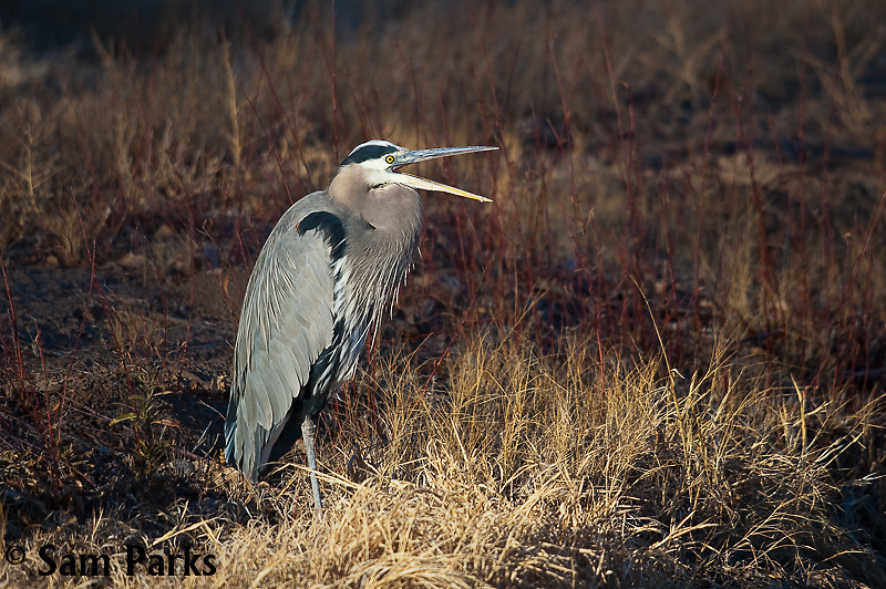 Great blue heron. Bosque del Apache National Wildlife Refuge, New Mexico.