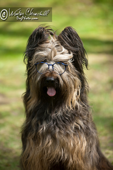 Briard<br />