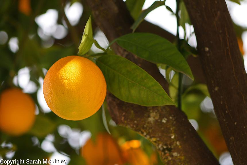 A nearly ripe orange growing at Mondavi Vineyard near Napa in Napa County in Northern California.
