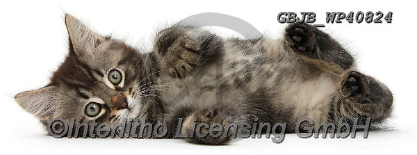 Kim, ANIMALS, REALISTISCHE TIERE, ANIMALES REALISTICOS, fondless, photos,+Tabby kitten, Squidge, 10 weeks old, lying on his side.,tabby, kitten, ld, lying, on, his, side, cats, pets, animals, kittens+, cute, adorable, lovely, lovable, relaxing, white background+++,GBJBWP40824,#a#, EVERYDAY