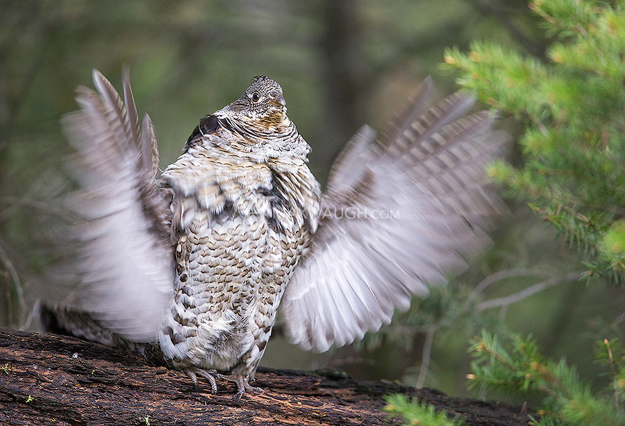 A Ruffed grouse uses this log for his drumming courtship ritual every spring.