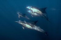 long-beaked common dolphins, Delphinus capensis, Transkei South Africa (Indian Ocean)