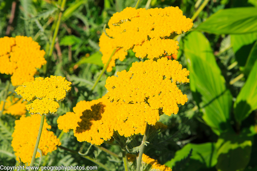 Yellow flowers of Achillea Coronation Gold, Sissinghurst castle gardens, Kent, England, UK