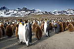 King Penguins, South Georgia Island