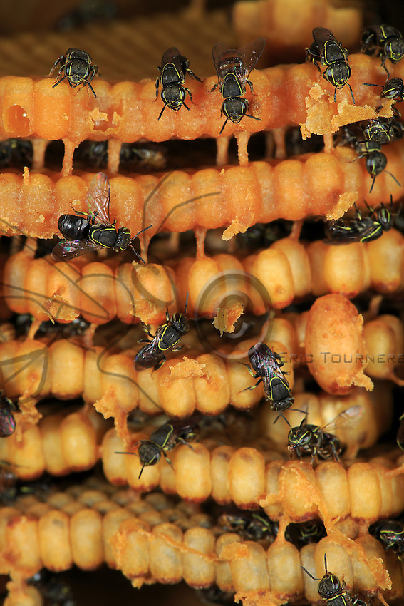The nest of the minuscule Paratrigona guatemalensis bee with a royal cell.///Le nid de la minuscule Paratrigona guatemalensis avec une cellule royale.