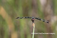 06580-00209 Banded Pennant (Celithemis fasciata) male Washinton Co. MO