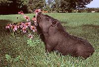 Potbelly pig, Sus scrofa domestica, smells the flowers, Echinacea purpurea