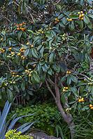 Eriobotrya japonica, Loquat fruit tree with orange fruit, McAvoy Garden - California garden; Ground Studio Landscape Architecture